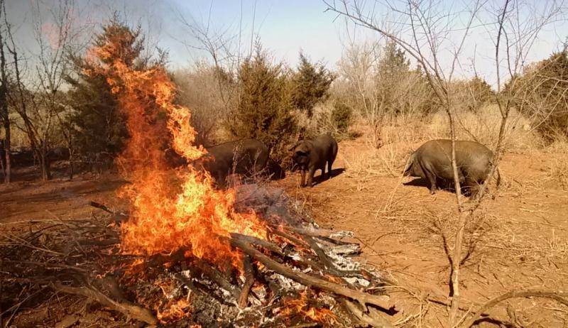 sows-enjoying-a-warm-fire-on-a-cold-day-7043dfcfb4055e42ea19640e090fd8793a66b560