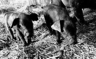 Medical Knowledge for Swine Caretakers