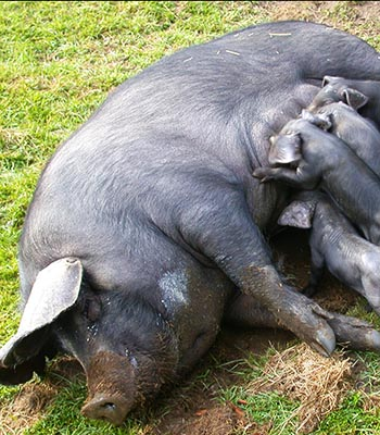 Large Black Hog Association