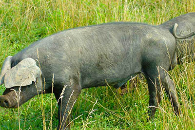 Large Black Hog Association Breeding Stock